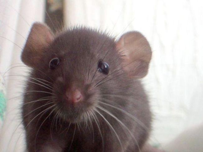2,000 Abandoned Rats Need Loving Homes in San Jose