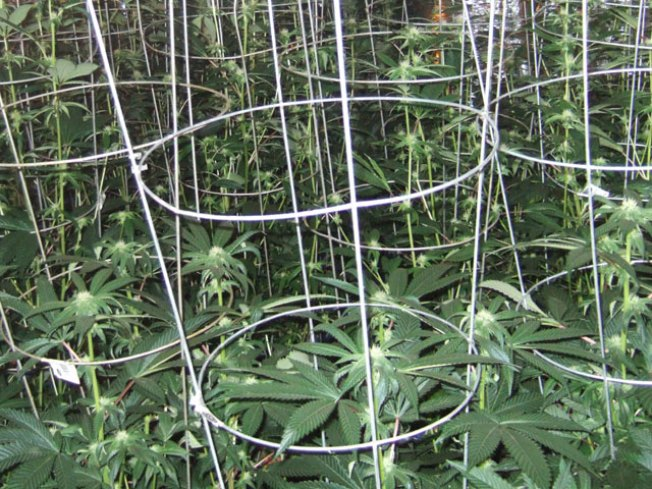 Pot Measure Proves Unpredictable