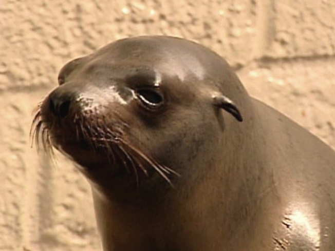 Sea Lion Die-Off Puzzles Marine Experts