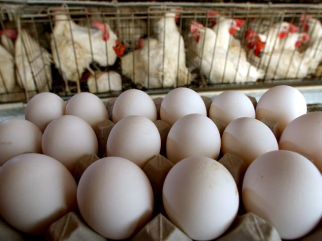 Egg Scare Boosts Home Grown Version