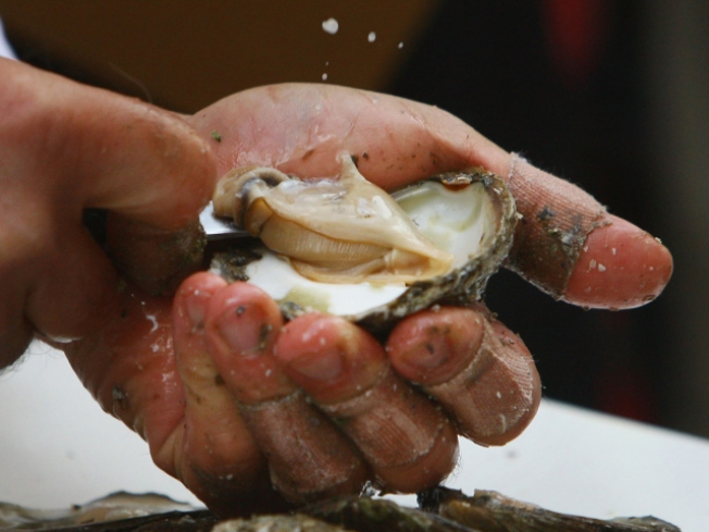New Lease on Life for Hidden Oyster Beds