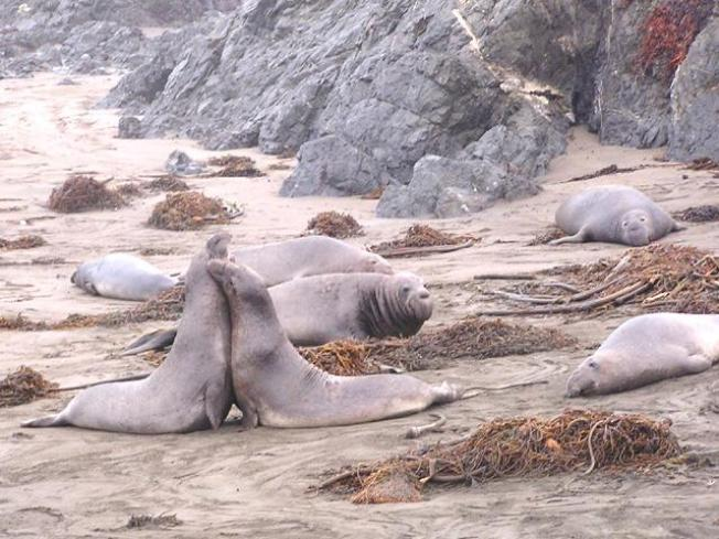 Shuttle Service Kicks Off to See Elephant Seals, Pacific Gray Whales