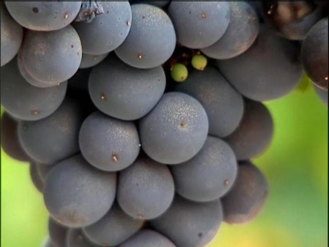 Crush Time: Napa's Harvest of Wine Grapes Begins Early