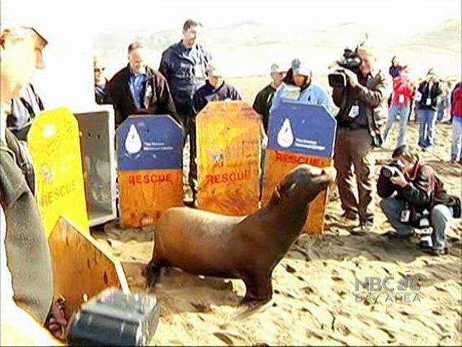Abagnale the Sea Lion Swims Free Again
