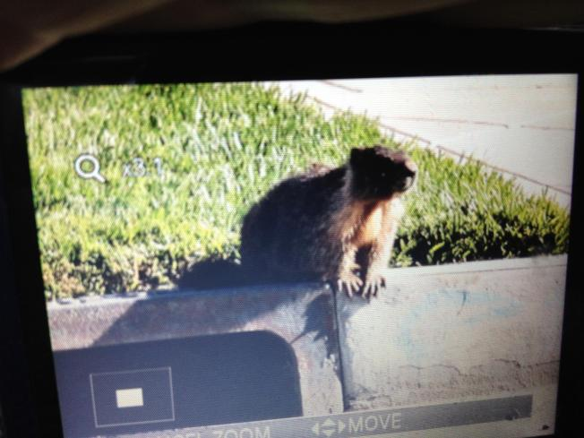 Marmot Wrangled in San Jose; Headed to Wildlife Center