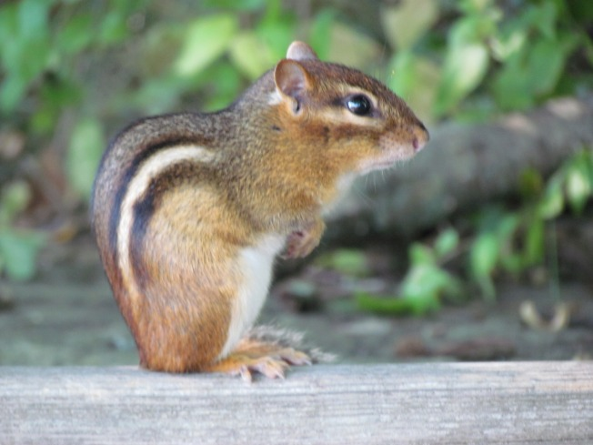 Chipmunk, Squirel Plague Worries Move to Lake Tahoe