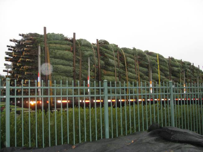 Rent-A-Trees for True Green Christmas