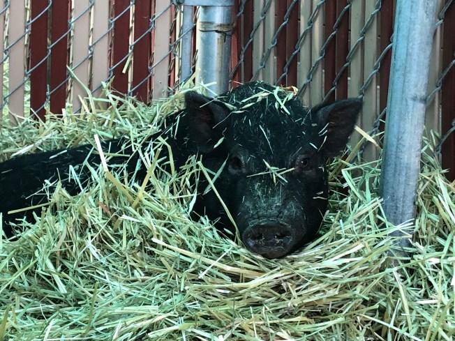 Piggy Smalls Up for Adoption at Peninsula Humane Society & SPCA