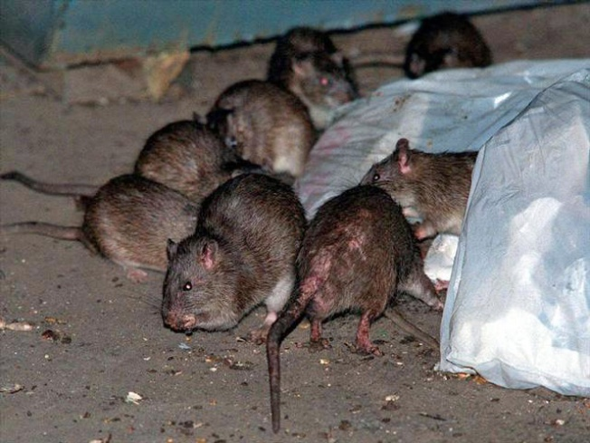 California Regulators Restrict Sale of Rat Poisons