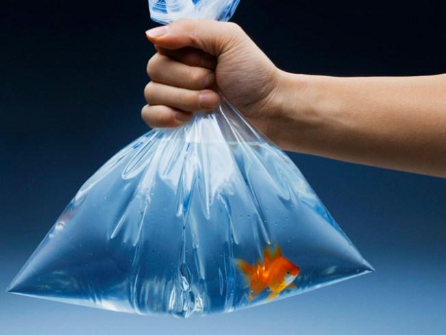 San Francisco Mulls Goldfish Ban
