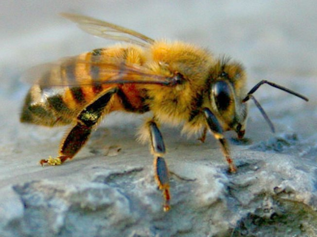 Bees Infest NorCal Home, Honey Drips From Walls