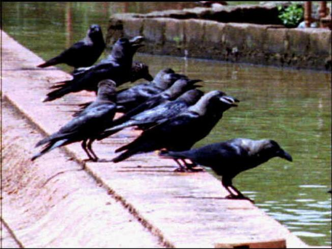 Crow Population Explodes in Bay Area