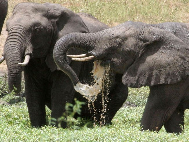 Dieting Elephants Lose 11K Pounds