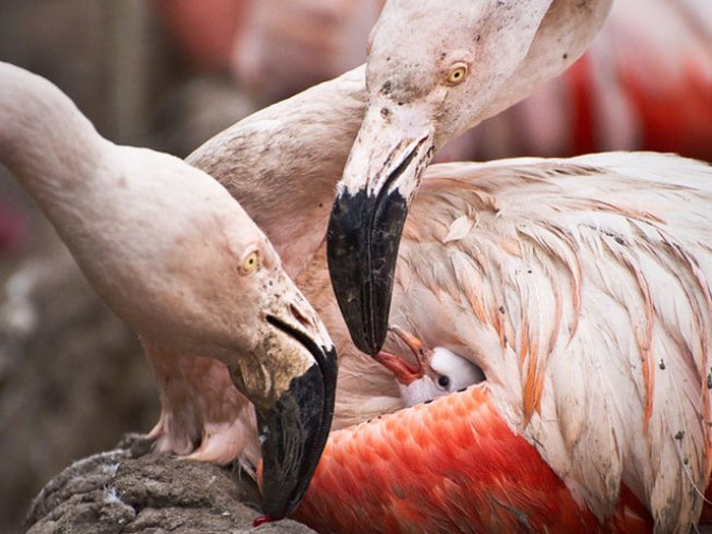 Flamingo Trio Hatches at SF Zoo