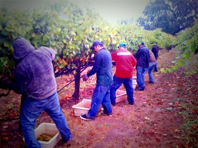 Mad Dash to Save This Year's Wine Harvest