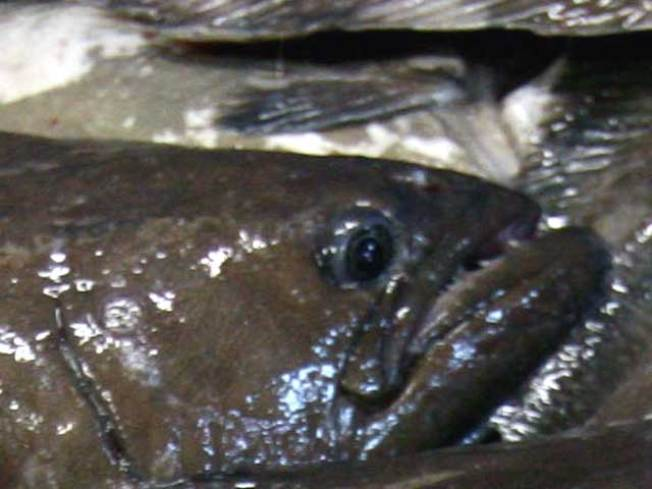 Botulism Fears Close Fish Processing Plants