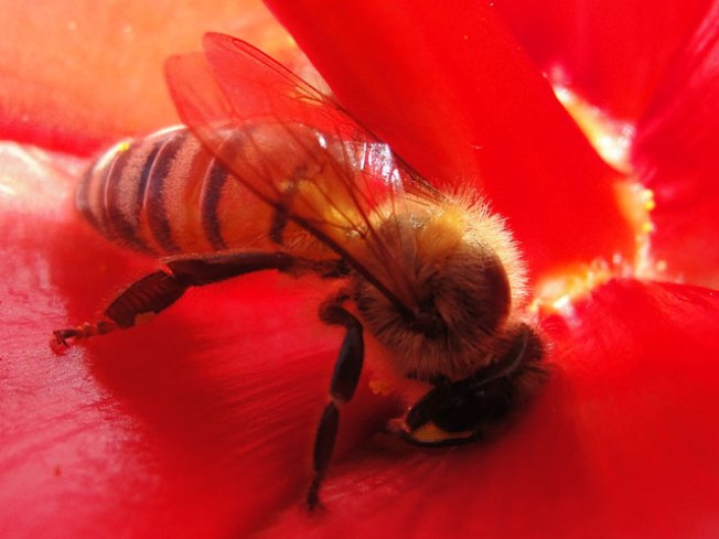 Parasite Turns Honeybees Into Walking Zombies