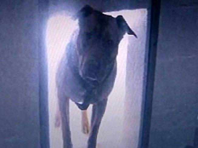 Owner Fesses Up in Fugitive Dangerous Dog Case