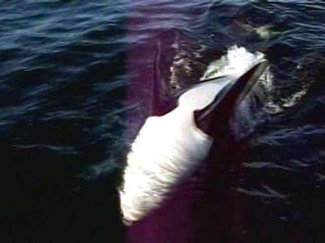 Close Encounter With Flirty Killer Whale