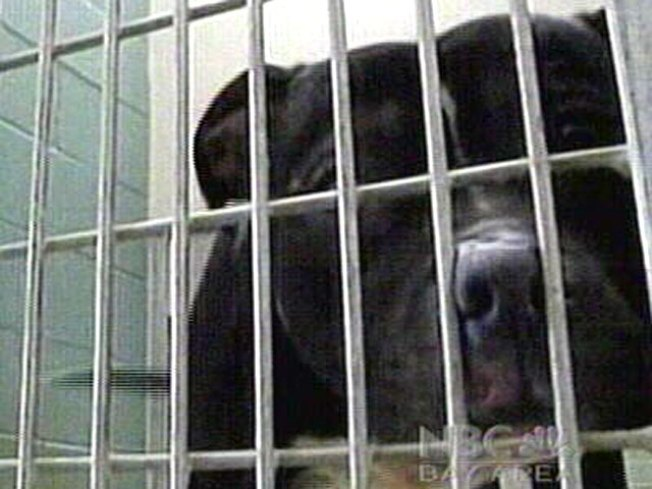 23 Pit Bulls Rescued From Oakland Home