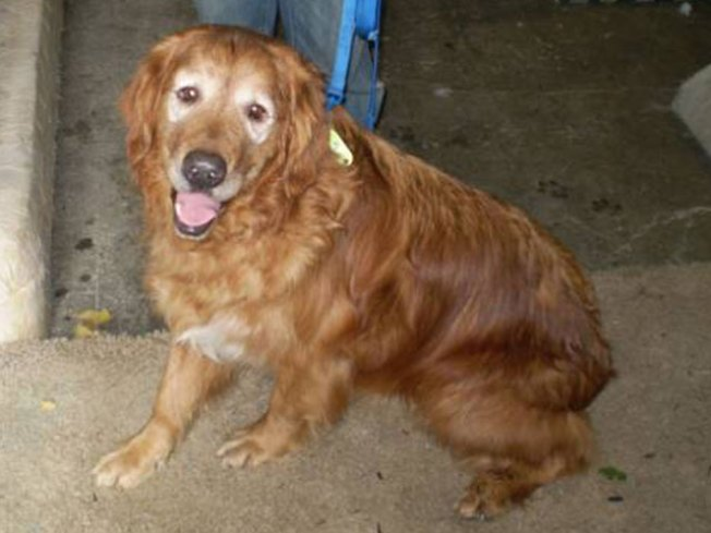 Rescued Norcal Golden Retrievers Need Help Nbc Bay Area