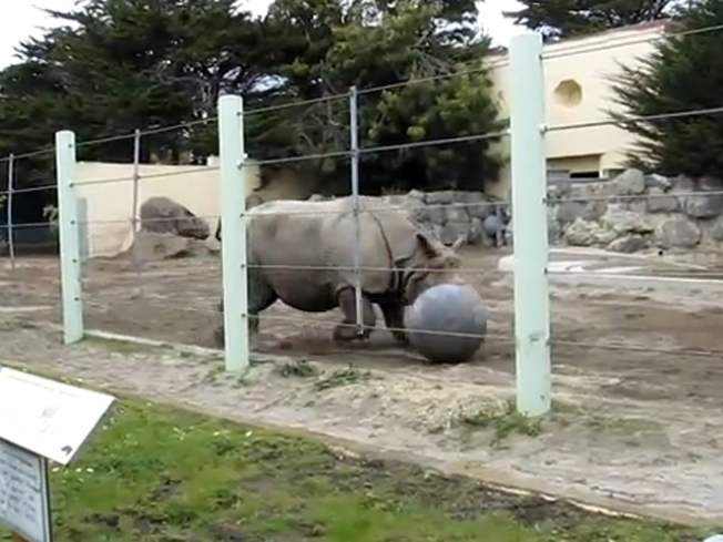 VIDEO: Bay Area Rhino Bends it Like Beckham