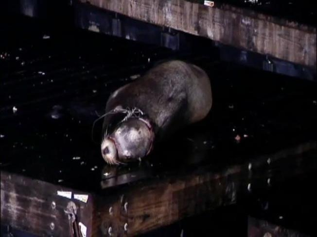 "Injured Sea Lion ""Disappears"""