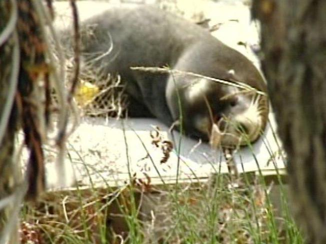 Shot Sea Lion on the Mend
