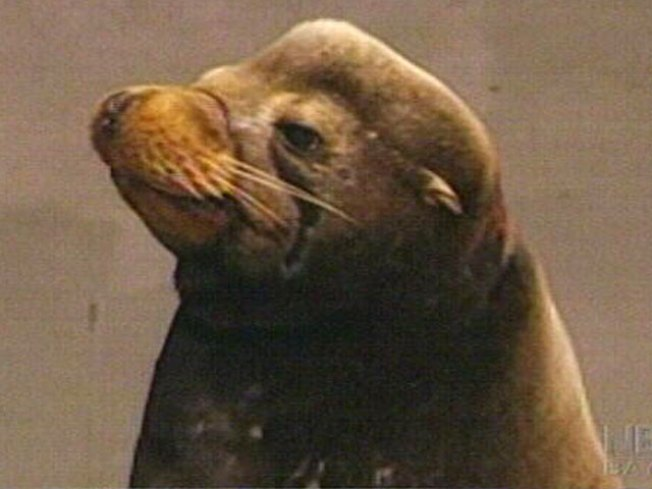 Feisty, Elusive Sea Lion Ready for Freedom