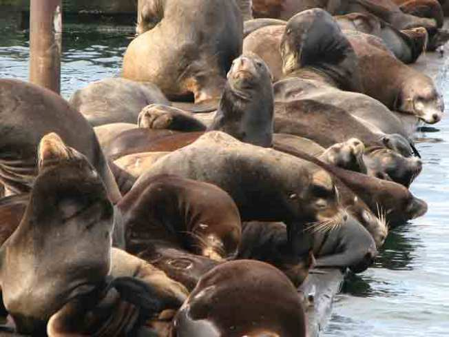 Sea Lions Return to Pier 39