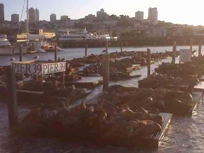 Pier 39 Sea Lion Herd Swells To Record High