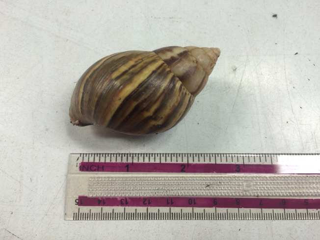 Dangerous Giant African Snails Discovered at Port of Oakland