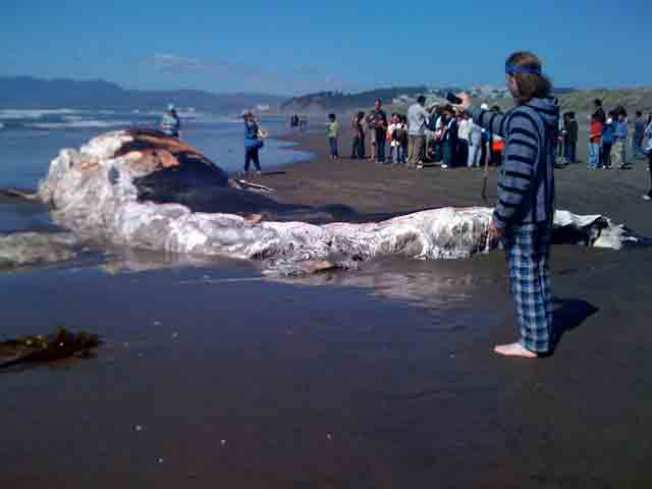 Whale Carcass Invades Ocean Beach