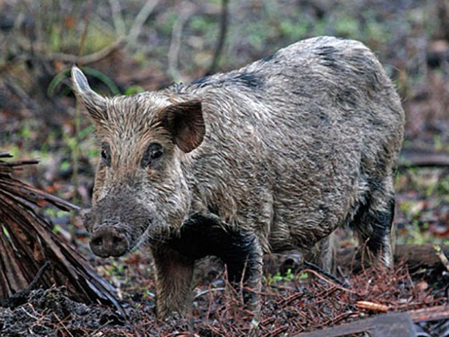 Wild Pig Hunt Approved at Bay Area Golf Course