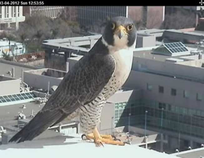 Falcons Hatch in San Francisco