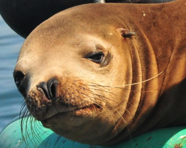 Search for Injured Sea Lion Gets Serious