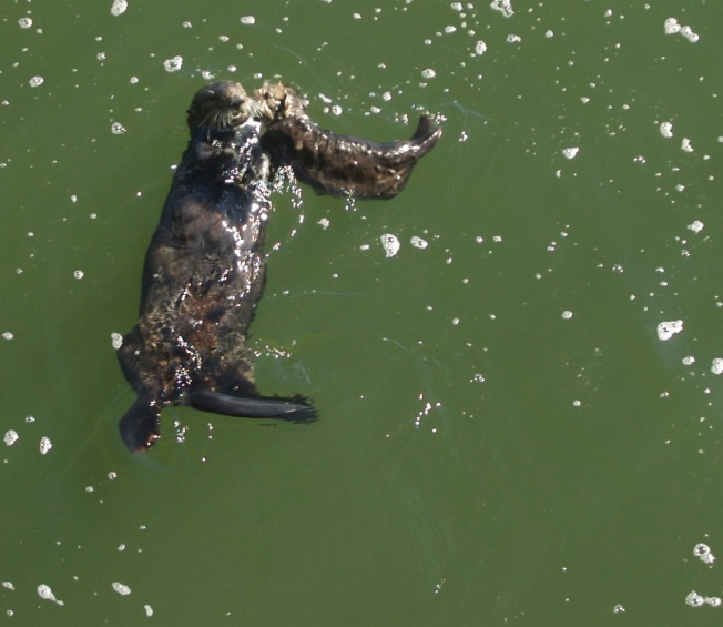 The Mystery of the Vanishing Sea Otter
