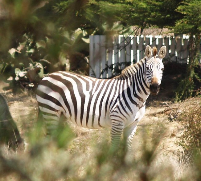 Hearst Castle Zebras Shot and Killed by Neighbor