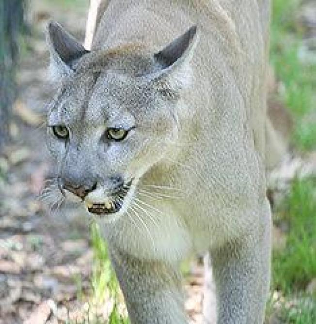 People-Panther Guidelines Issued as Florida Panther Population Grows