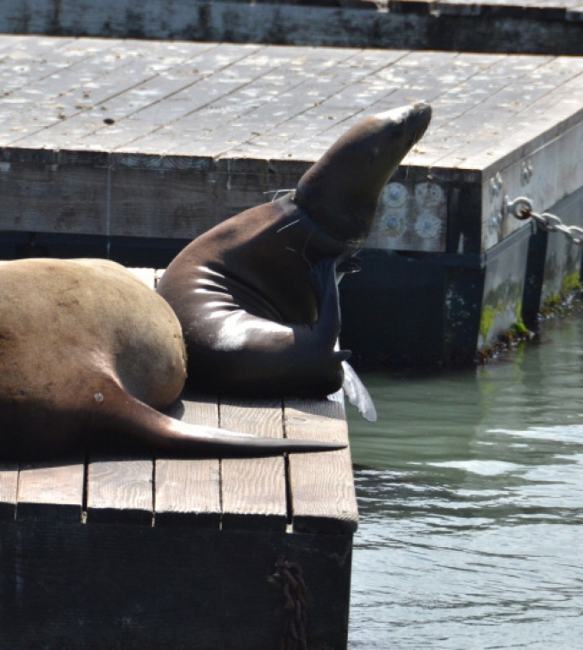 Pier 39 Sea Lions Found Entangled in Wires