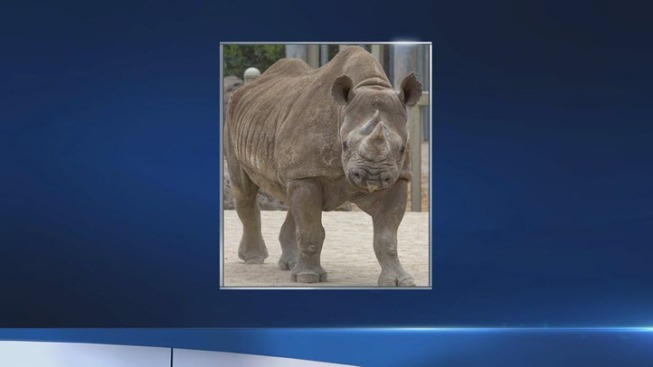 San Francisco's Black Rhino, Oldest in North America, is 45