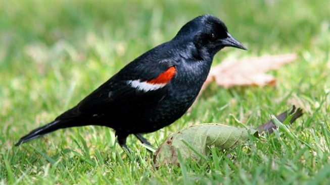 California Drought Hurts Tricolored Blackbird