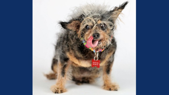 Scamp the Tramp Wins World's Ugliest Dog Contest