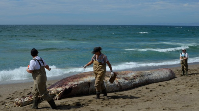 Whale Carcass from Deep Water Species Found on Beach in Point Reyes