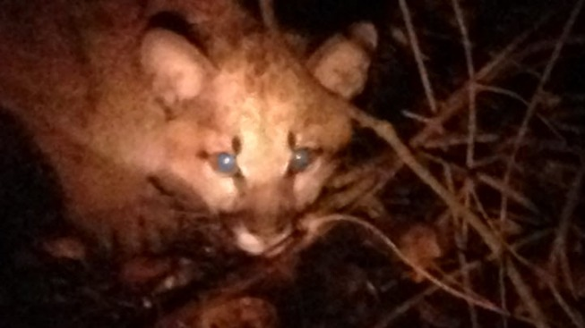 Mountain Lions Shot Earlier this Month Were Small, Probably Hungry
