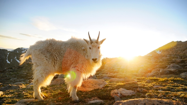 """Goat Man"" Spotted in Utah Mountains"
