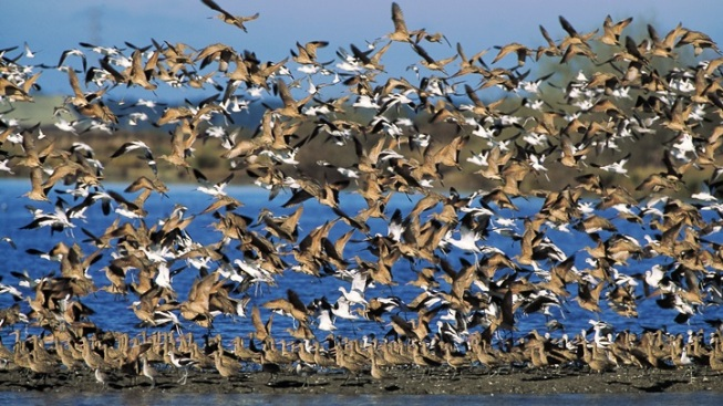 Godwit Days: Humboldt County on the Wing