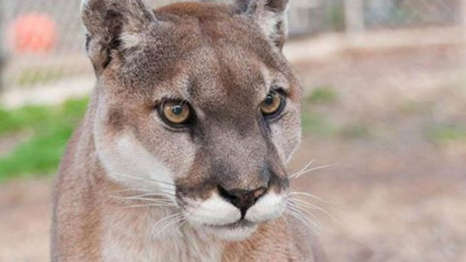 Mountain Lion Spotted in Woodside