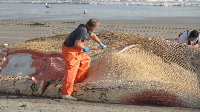 Rare Whale Found Dead on Beach, Ship Suspected