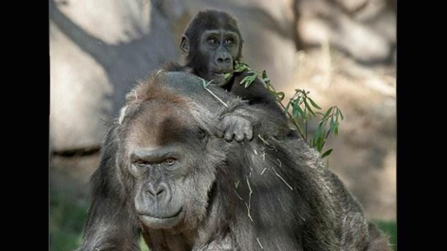 Third-Oldest Known Gorilla Celebrates 55th Birthday